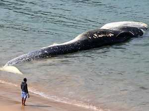Delayed removal of whale from NSW beach