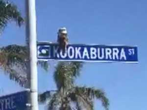 How Aussie is that?! Kookaburra perches above its own street