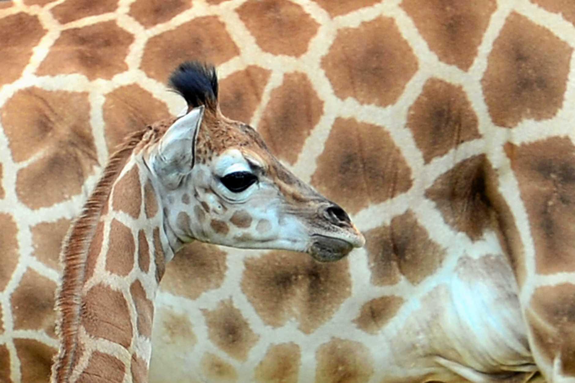 Baby giraffe Sophia at Australia Zoo.