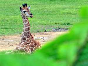 Giraffe's birth vital to regaining numbers