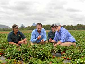 Hope on horizon for 'flogged' farmers after strawberry saga