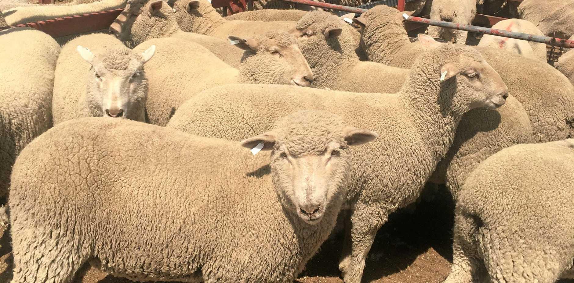 New threat to sheep | Warwick Daily News
