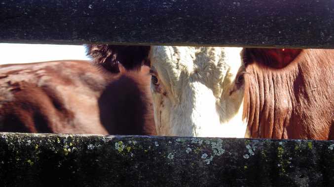 Cow at saleyards.