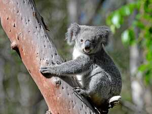 Koala 'reserves' substitute spin for science