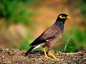 Don't fall into this Myna trap