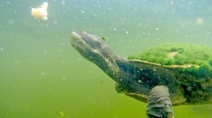 A moss-covered turtle in the Gooseponds.