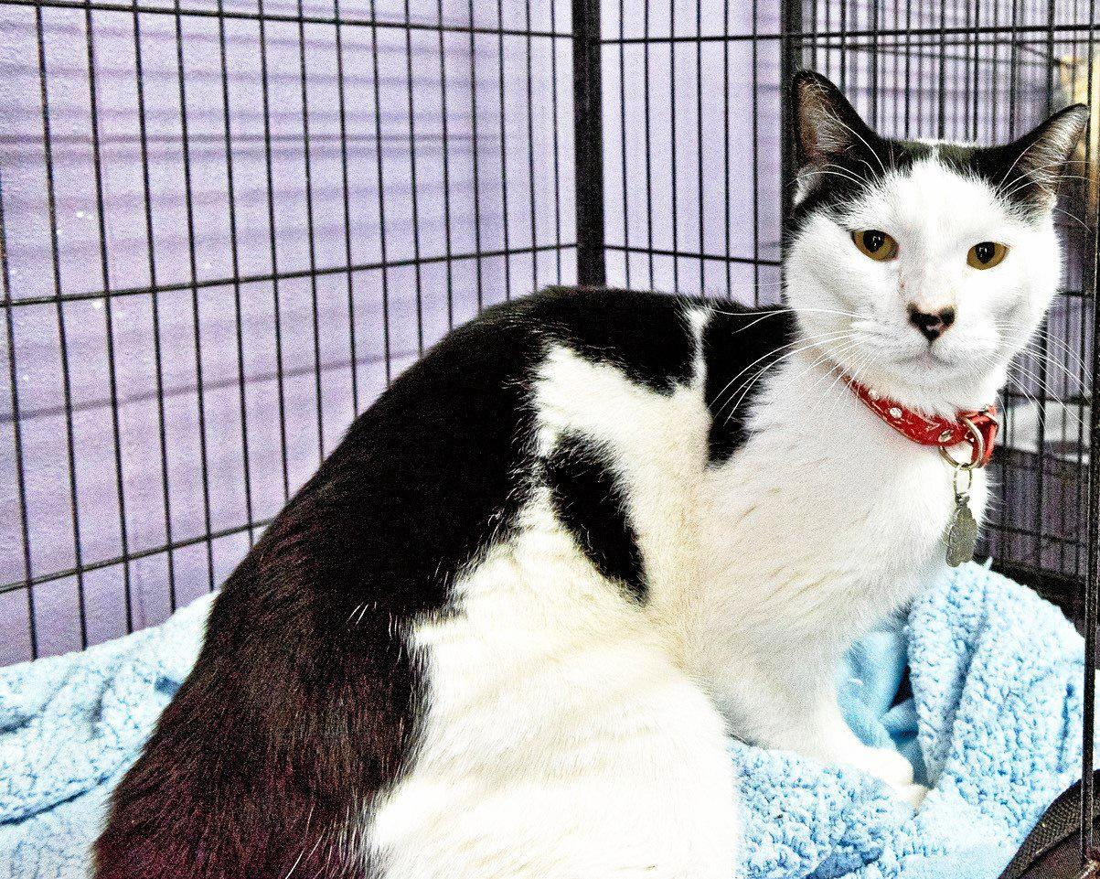 BATMAN: This super friendly four year old just love his cuddles. Batman is good with other cats. His adoption fee is $200.