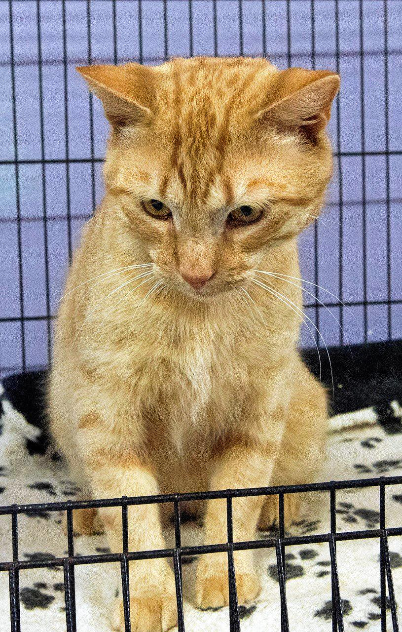 THOMMO: This lovely boy is 18 months old. Thommo is friendly and loves to cuddle. This big ginger ninja is $200 top adopt.