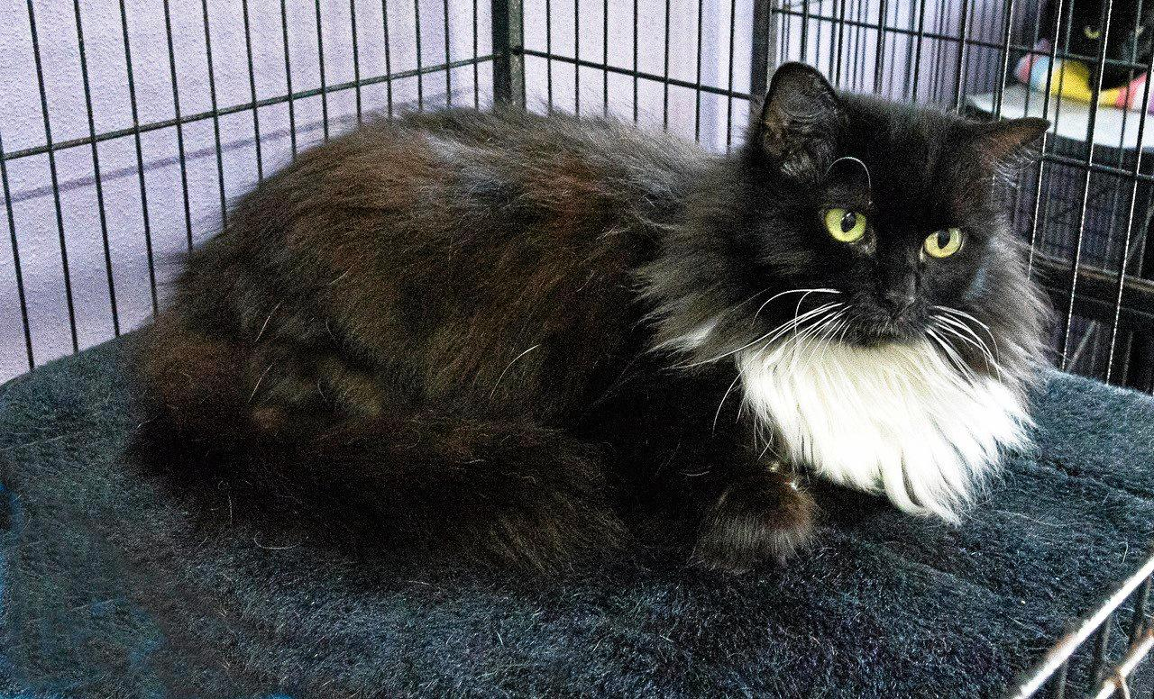 SOX: This friendly young man is six years old. He loves his cuddles. Sox's adoption fee is $200.