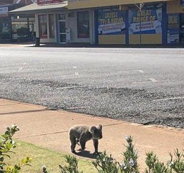 SIGHTSEEING: A koala does some window shopping at Kingaroy.