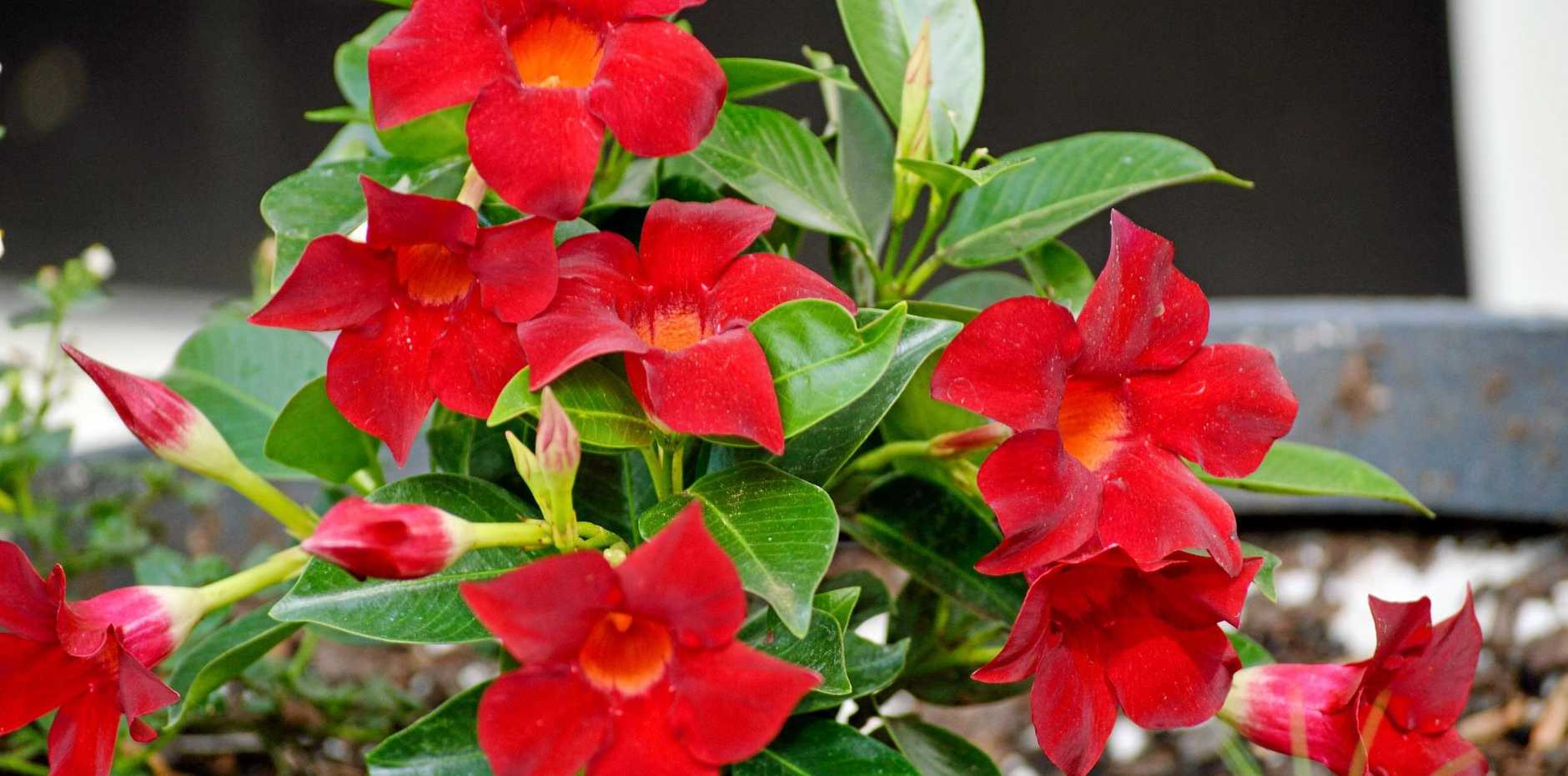 Mandevilla is a genus of tropical and subtropical flowering vines.