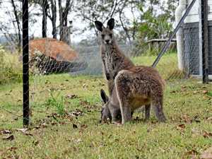 Roo carers giving joeys a chance at life