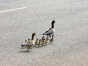 Outrage after ducklings killed by 'disgusting' driver