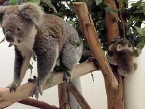 Koala joey reunited with mum after ride on dog's belly