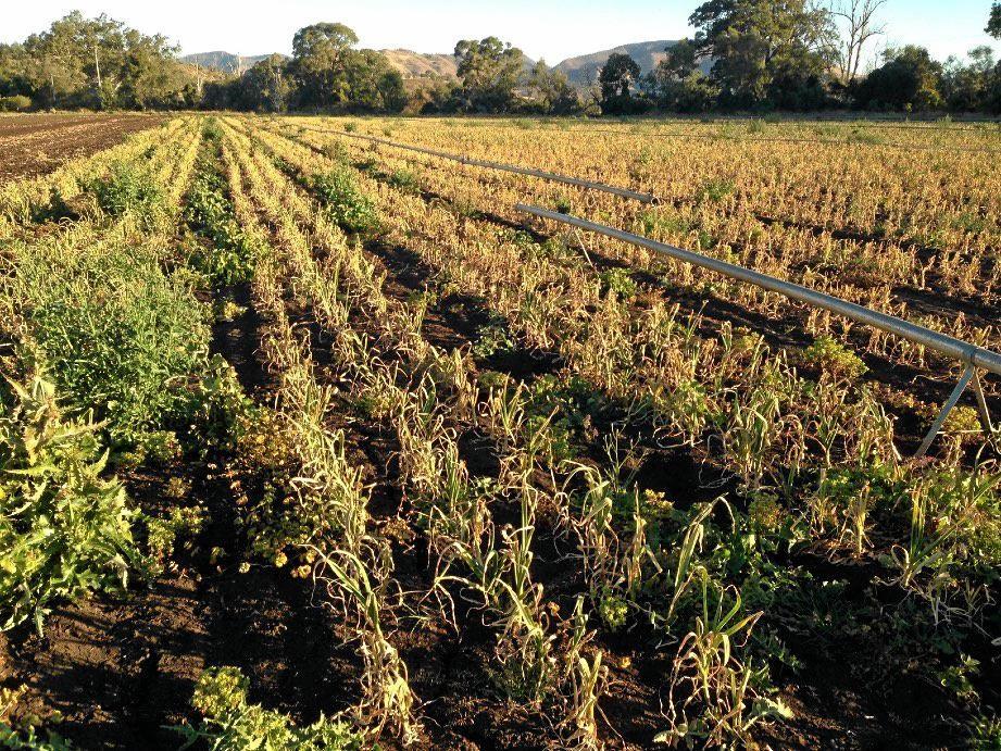 Onion and potato crop damage at a Mt Sylvia farm are estimated at $1 million.