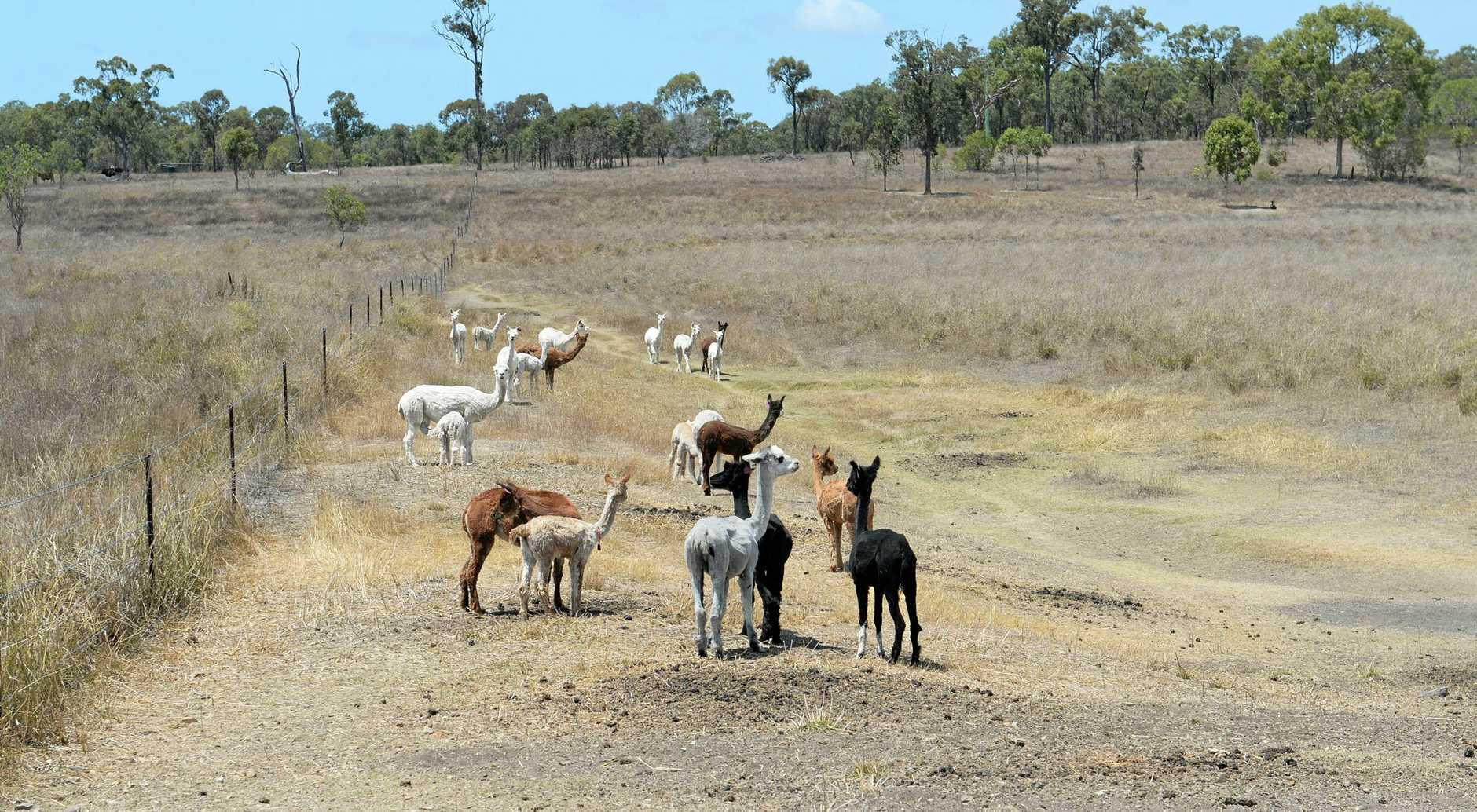 Alpacas are shorn once a year, at the beginning of spring and their fleece fetches a high price.