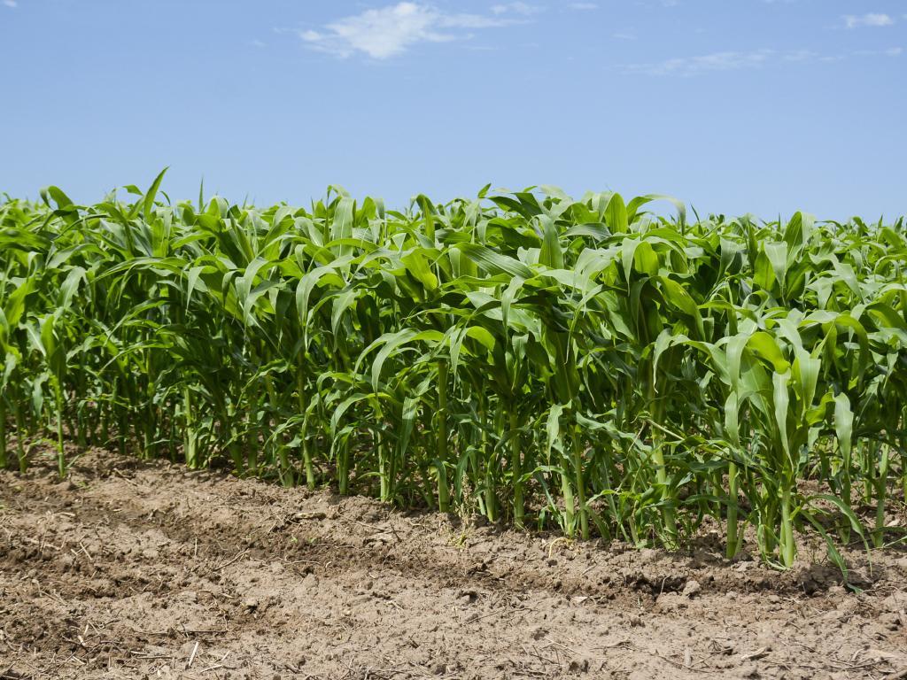 A corn crop at John Hine's Woodglen farm. Picture: Dannika Bonser