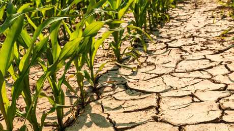 Corn is able to grow in dry conditions and could thrive in the future.
