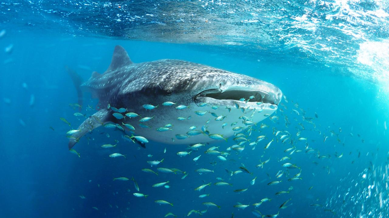 Snorkeling with a whale shark (Rhincodon typus) at Ningaloo Reef, Exmouth, Western Australia. Picture: Istock