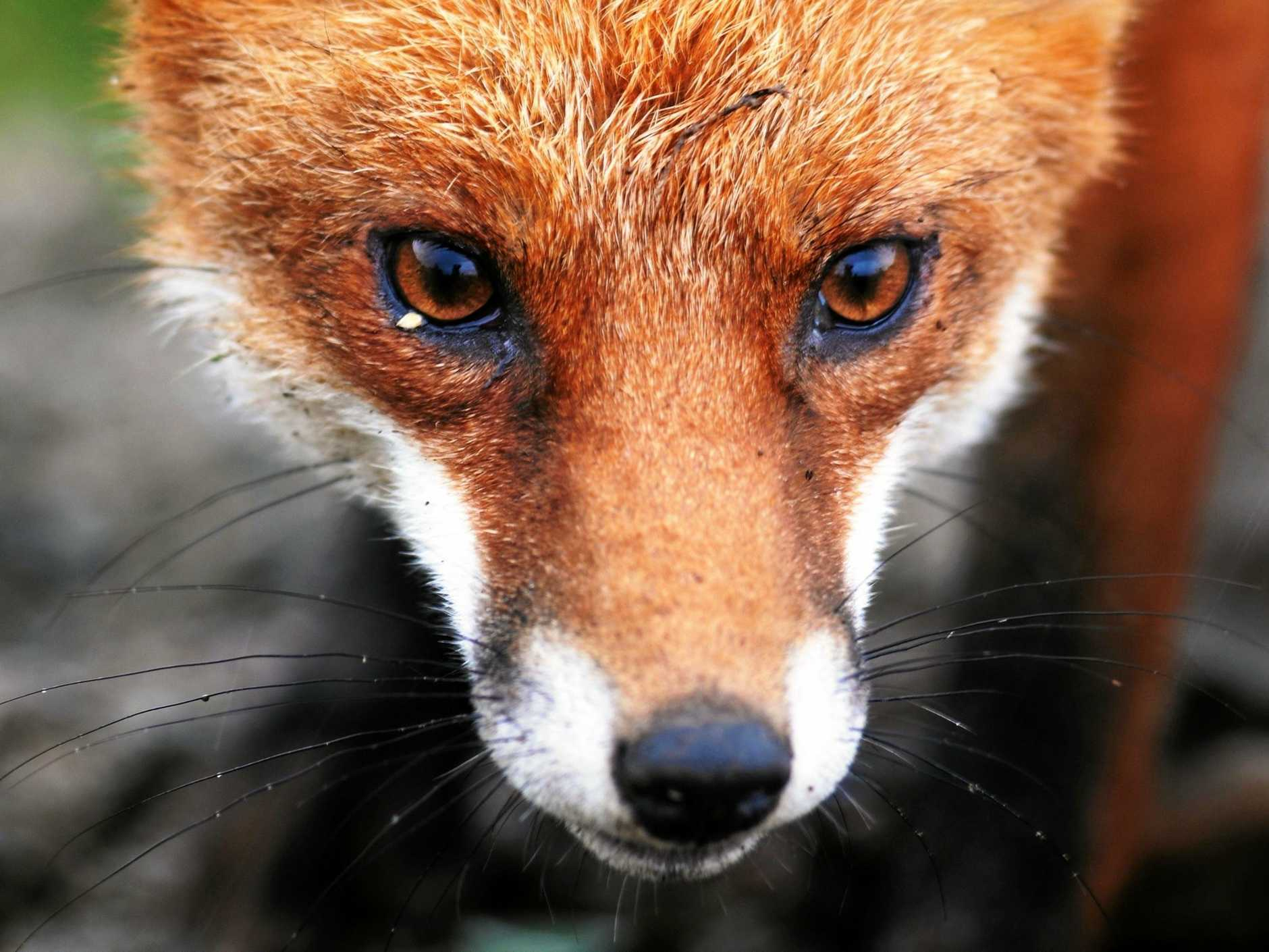 Foxes are an issue in a wide range of environments.