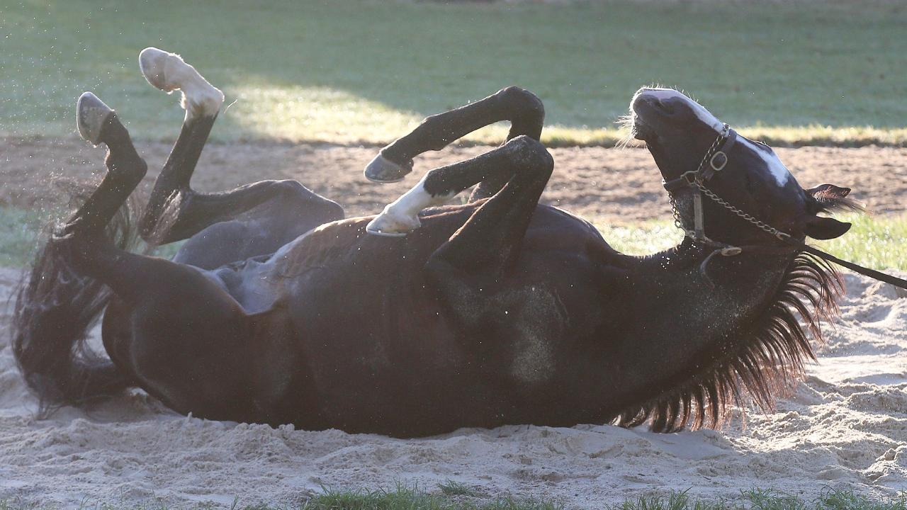 Yucatan enjoys a roll in the sand at Werribee. Picture: Michael Klein