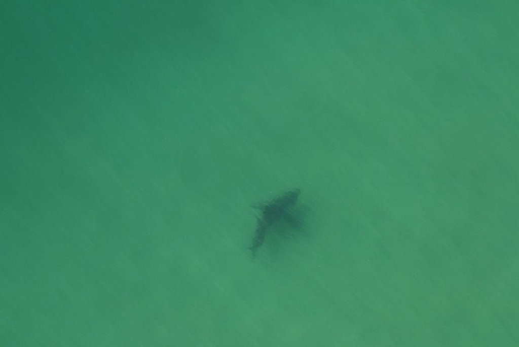 This white shark was spotted at Black Rocks, Pottsville, and authorities evacuated the beach.