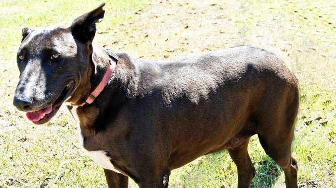 MARLEY: This quiet and timid bull terrier cross is six years old. Marley is a loyal dog once she gets to know you and has bonded. Marley's adoption fee is $315. Phone the Hervey Bay Animal Refuge for more information.