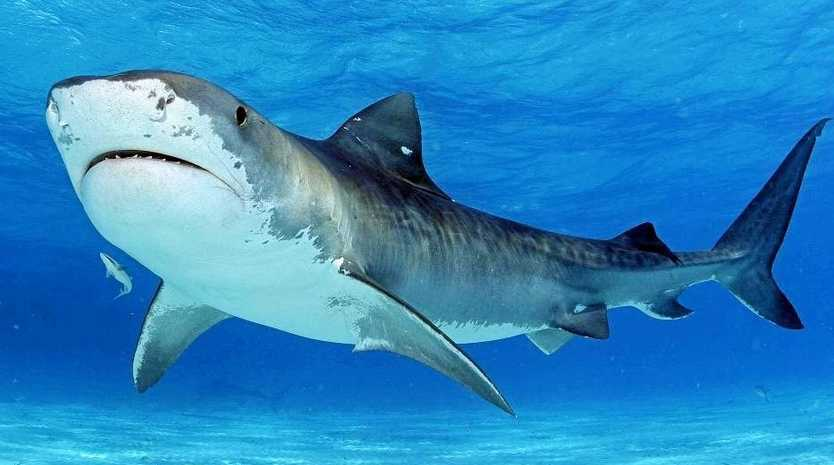 A tiger shark was tagged and released off Sharpes Beach, Ballina.