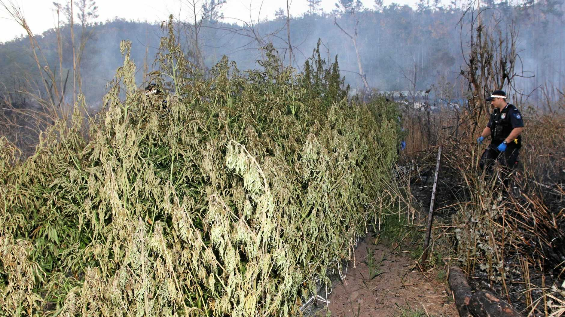 UP IN SMOKE: One of the cannabis crops allegedly discovered by emergency services during a grass fire last Friday.