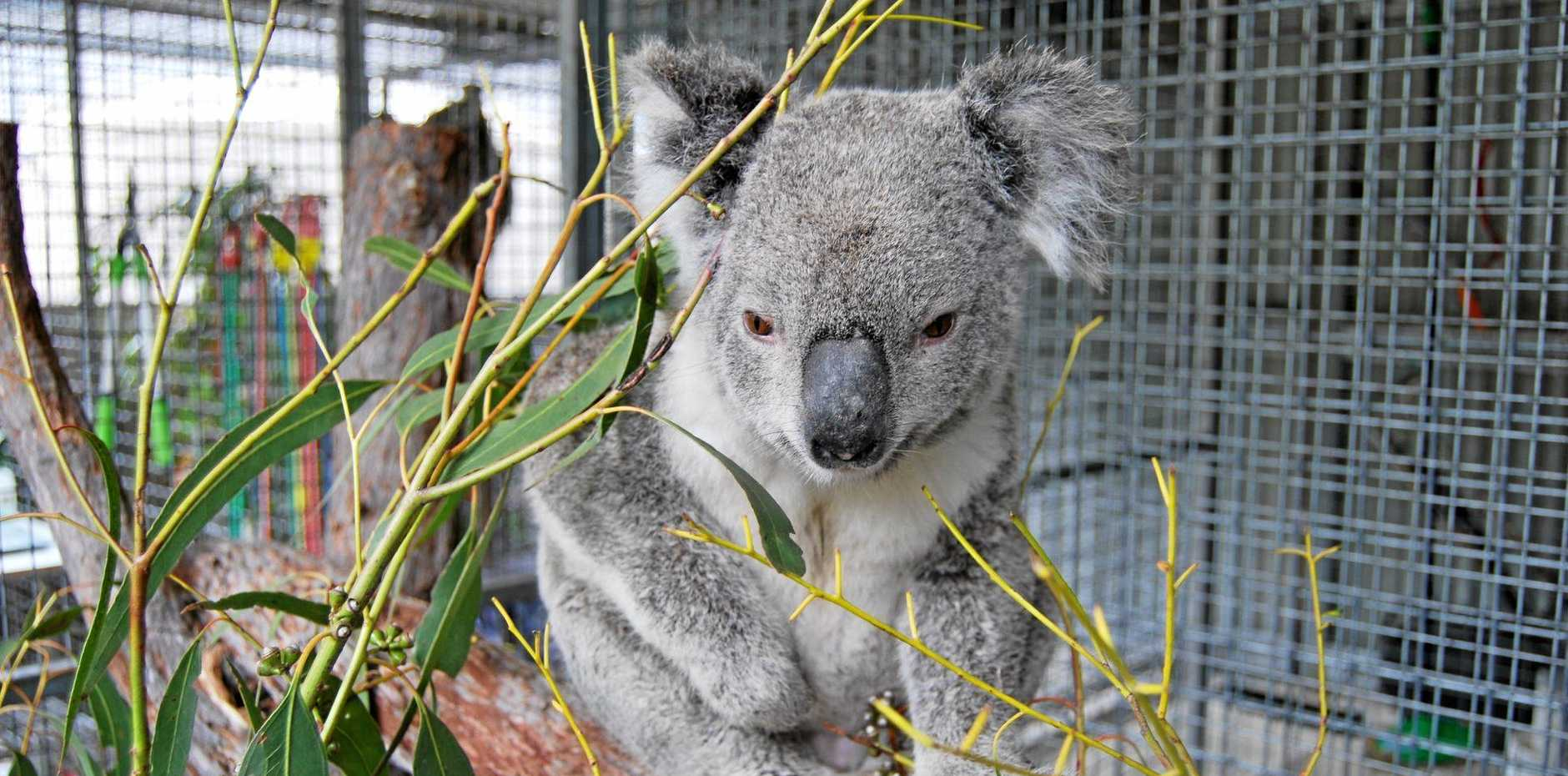 BACK TO BUSH: Granite Belt Wildlife Carers helped rescue this koala in Stanthorpe and set it free.
