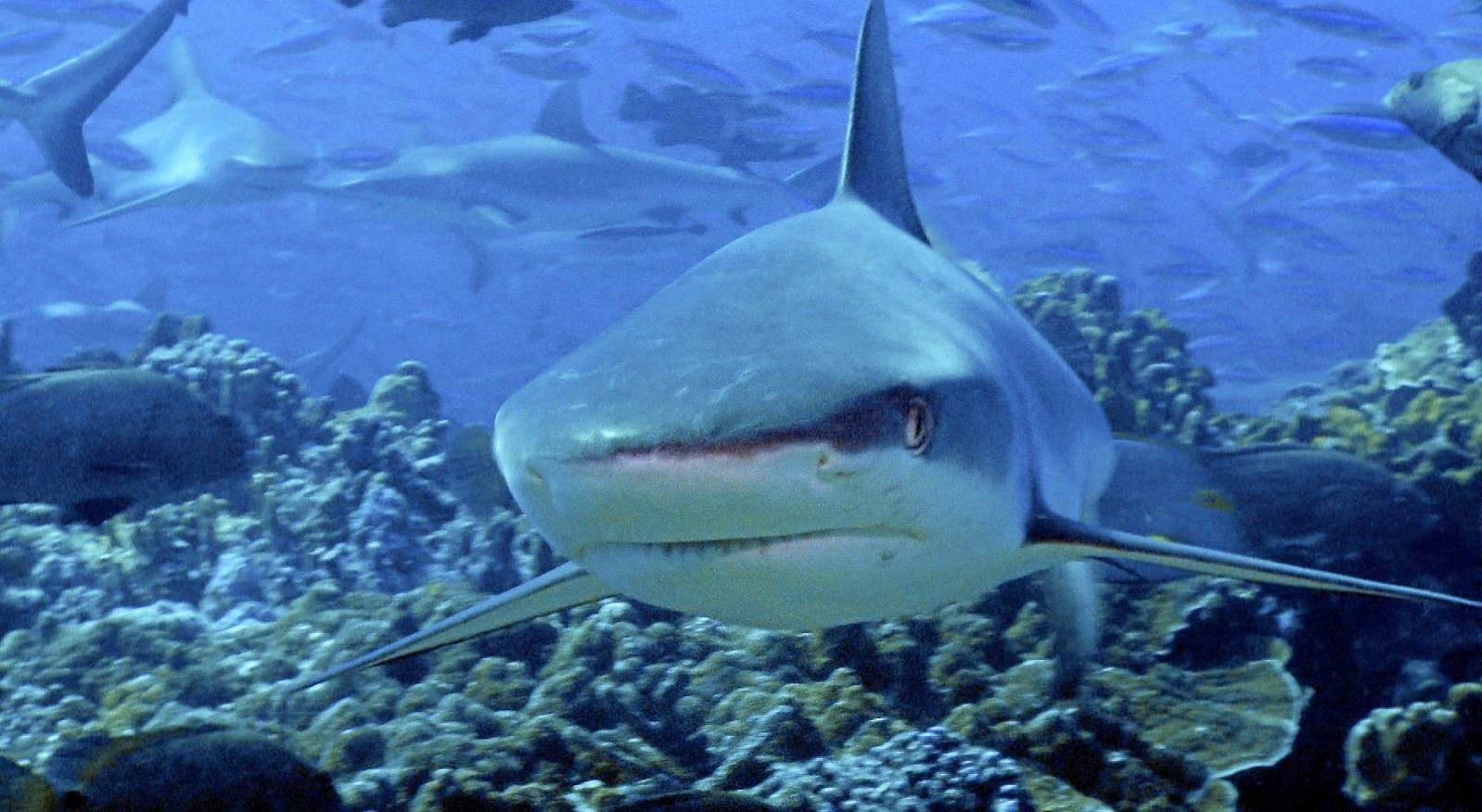 SHARK FEAST: Fisherman believed the shark that bit him was a reef shark at Swain Reefs.