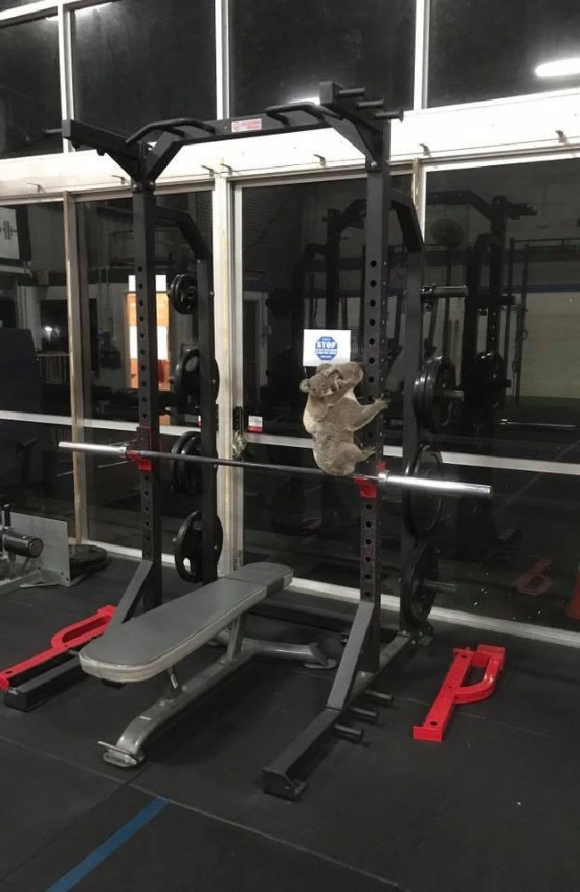 A mother koala and her baby took refuge in a gym after tree clearing forced them out of their natural habitat.