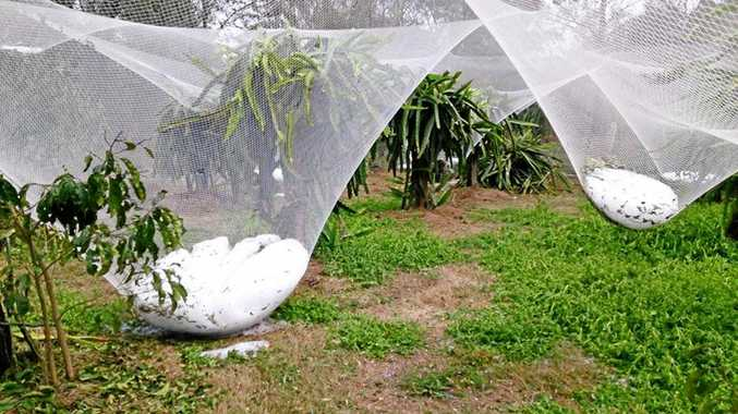 The netting is usually stretched tight to protect the dragon fruit from birds.