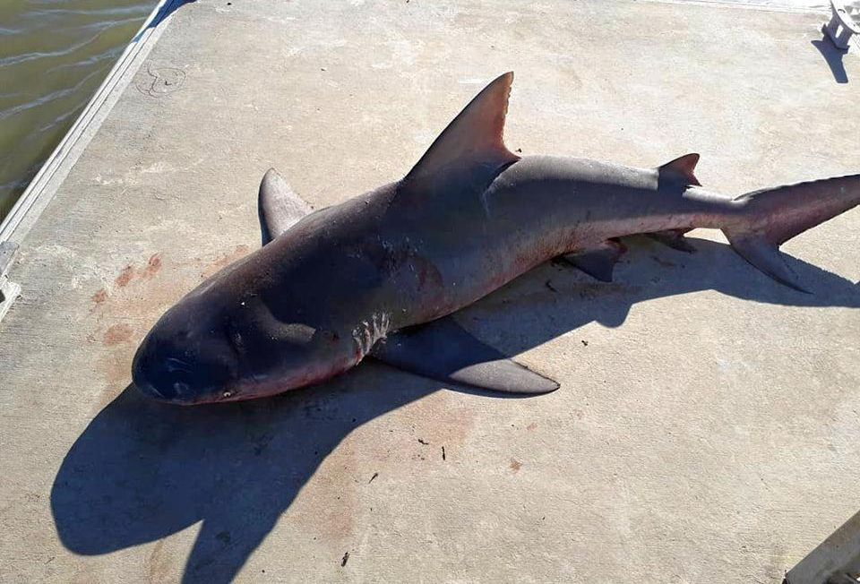 FISH OUT OF WATER: Mark Normal dragged the bull shark from the pontoon back into the river.