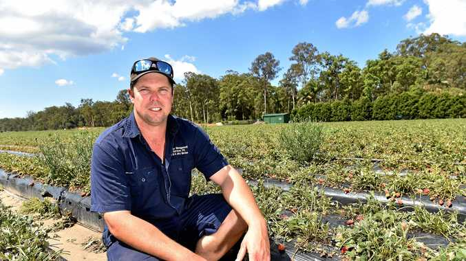 Justin Agostinelli lost his Beerwah strawberry crop after a recent hail storm.