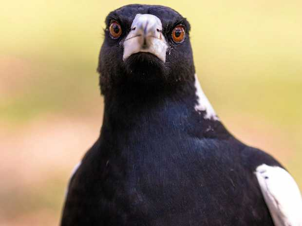 Magpies strike fear in the hearts of many children.