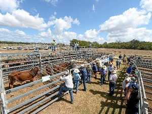 Sarina cattle market firms up