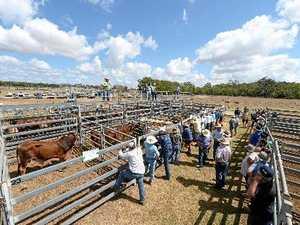 Sarina cattle market firms up