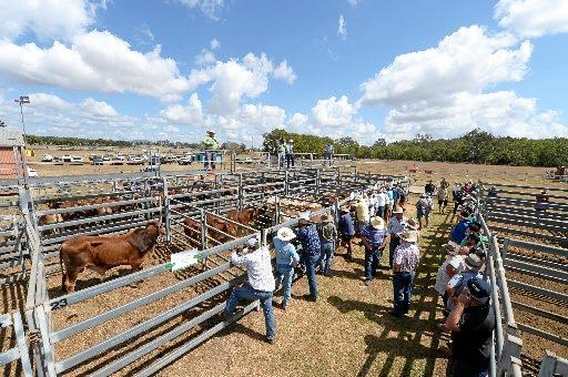 A yarding of 223 was available for prospective buyers at Wednesday's Sarina cattle sale.