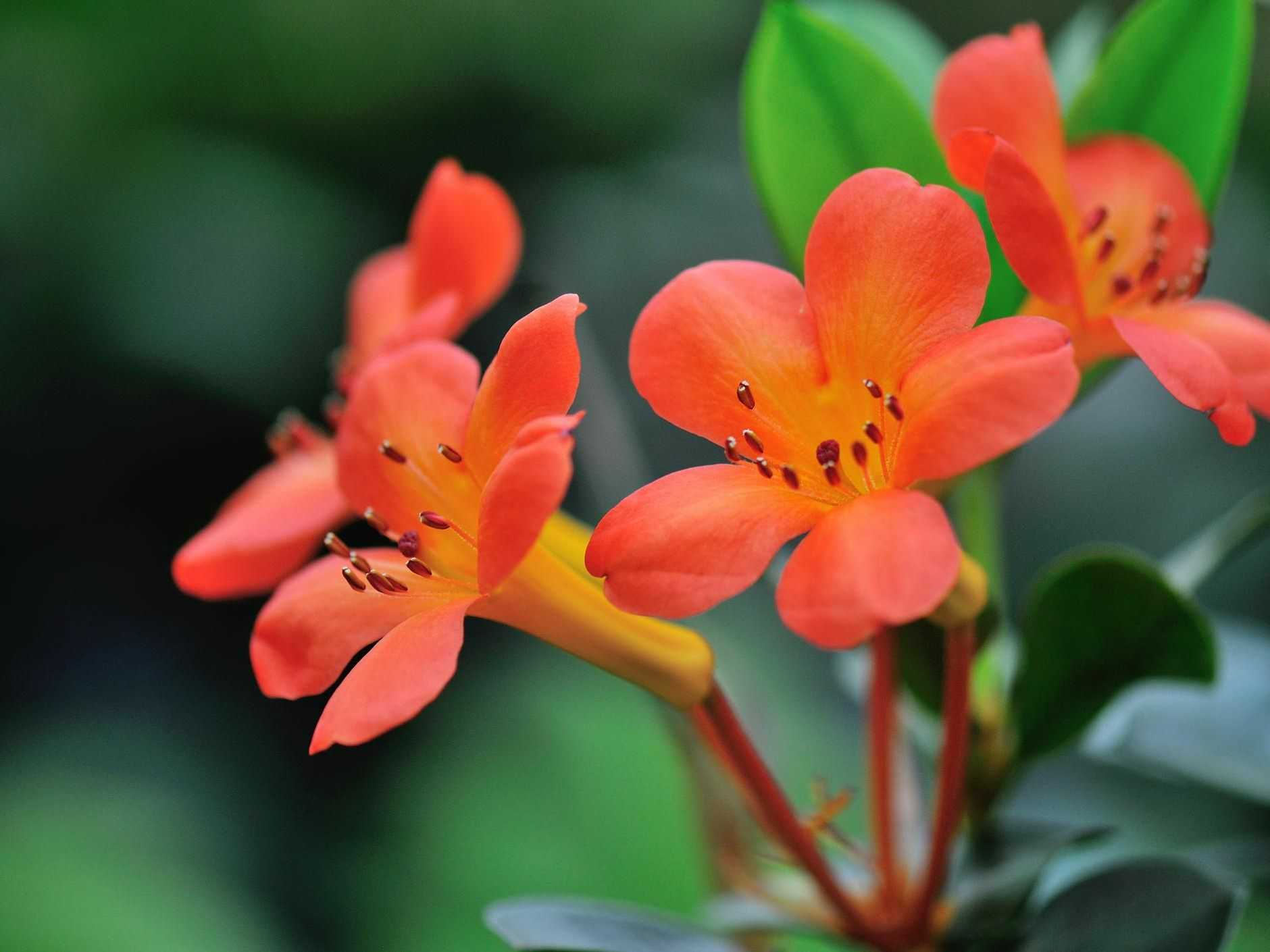 Vireyas have clusters of brilliant, sometimes scented, trumpet-shaped blooms.