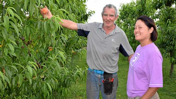 PICKING TIME: John and Frieda de Kleuver at their Southview Orchard peach farm.