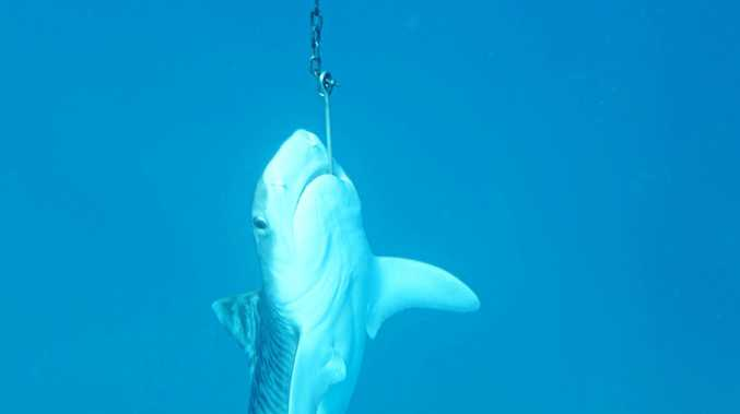 A 1.5m female tiger shark was hooked and killed on a drumline.