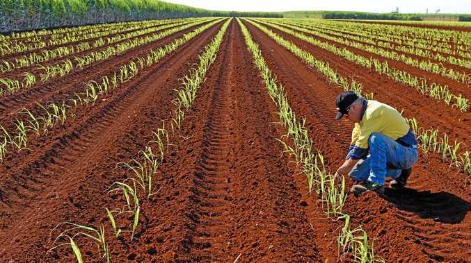 Sugar cane field.