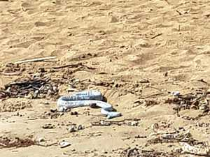 DICE WITH DEATH: Stranded sea snake becomes dog's play thing