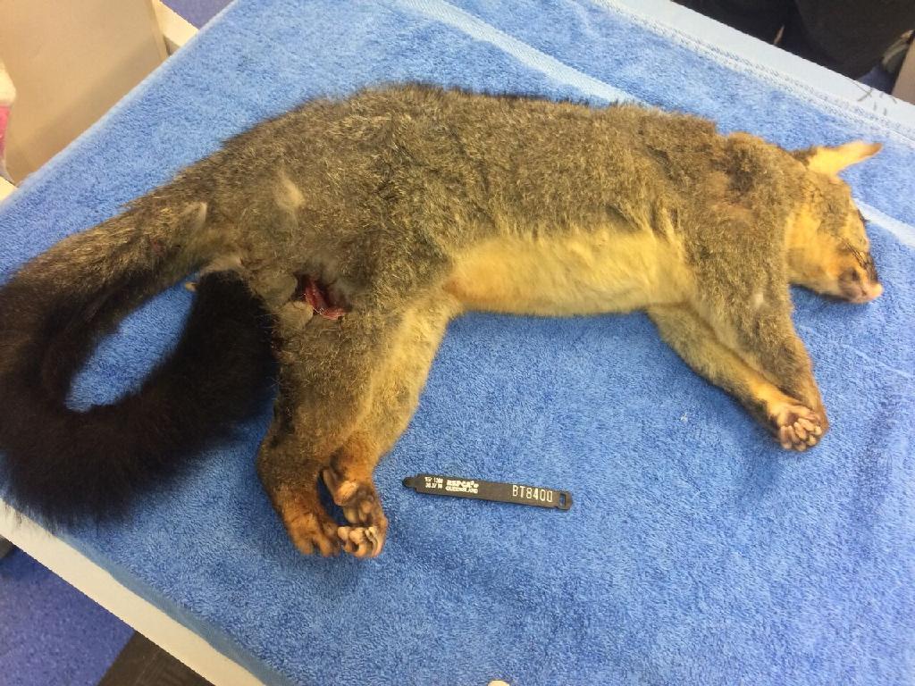Man kills possum with homemade spear | Chronicle