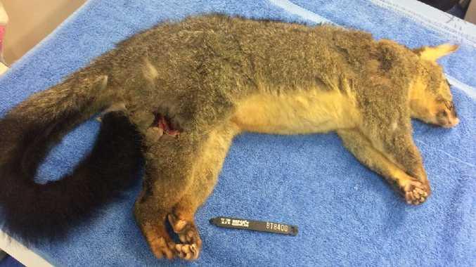 The possum suffered a pierce wound right through the thigh.