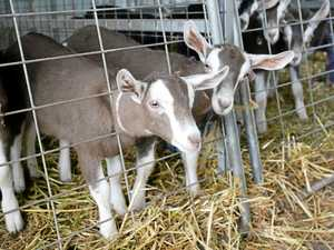 Desley Golightly's goats