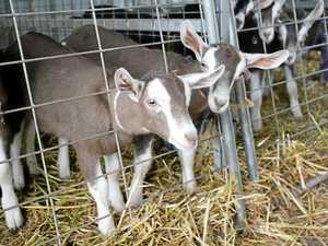 Desley Golightly's goats