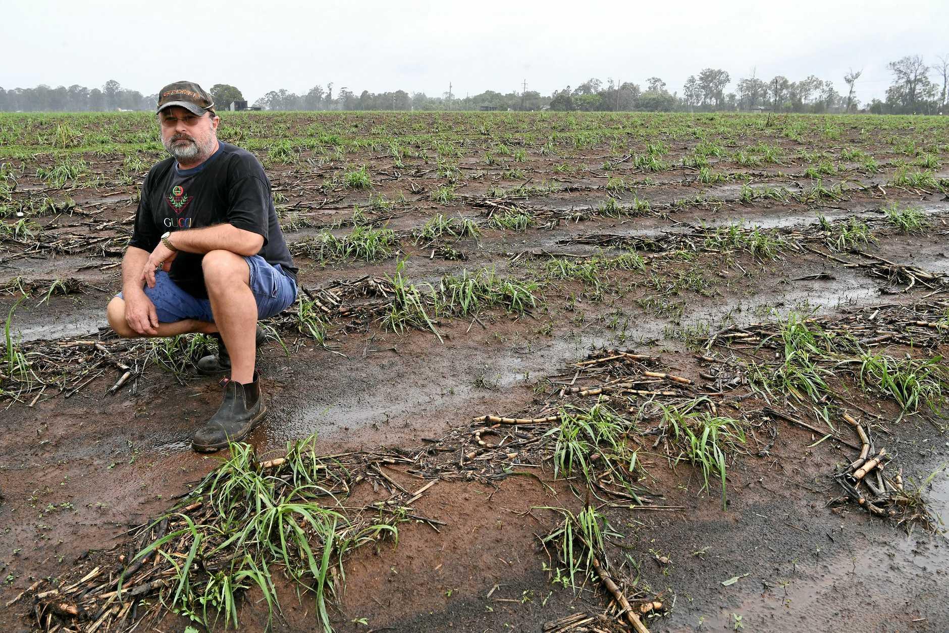 DEVASTATION: Cane farmer Ronald Feierabend's cane crop was damaged by Thursday night's hailstorm.