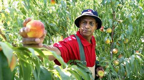 Rajapoal Auseereejanoo from Mauritius picks peaches at a Murray River farm.